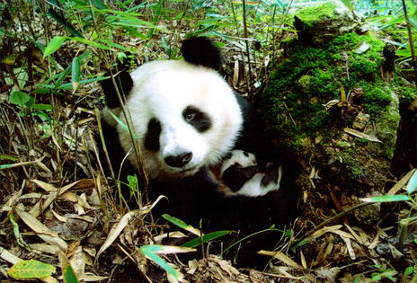 The Nature Conservancy Panda